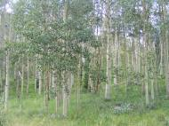 The aspen forest in the vicinity of the confluence of Middle Brush and East Brush Creeks