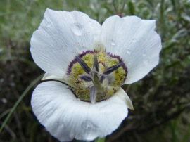 Calochortus gunnisonii, part of Liliaceae, found on Brush Creek