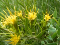 A cluster of yellow Asteraceae, found on Brush Creek