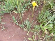 A native dandelion in red soil on Brush Creek