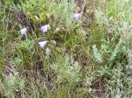 Common Harebells, part of the Bellflower Family, on Brush Creek