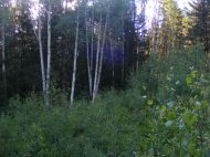 Thick aspen forest on Mill Creek