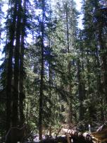 Typical scene within the thick conifer forest on Little Mill Creek
