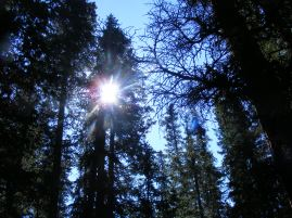 Sunburst through a conifer on Little Mill Creek