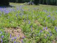 An expanse of lupine