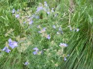 This looks like something in the Phlox Family, perhaps a species of Polemonium, on Curecanti Creek
