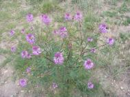 Cleome serrulata, in Capparaceae, at the forks of Sand Hollow