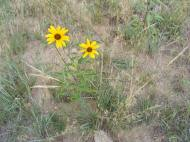 Sunflower of some sort at the forks of Sand Hollow