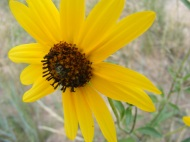 Sunflower in the Aster Family at the forks of Sand Hollow