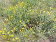 A shrubby Asteraceae at the forks of Sand Hollow