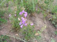A Penstemon on Reed Gulch