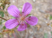 I believe this to be Geranium viscosissimum, in Geraniaceae, on Reed Gulch