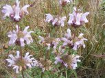 A cluster of Pony Beebalm on Reed Gulch