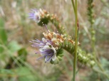 I'm not sure what this is, perhaps a Phacelia, on Reed Gulch
