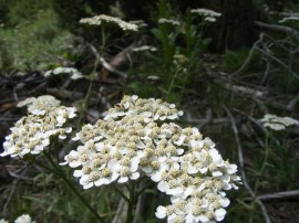 Achillea millefolium, part of Asteraceae, on Reed Gulch