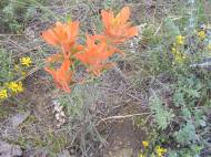 A species of orange paintbrush, on Reed Gulch