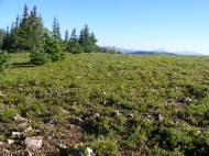 Verdure on the shoulder of Carbon Peak