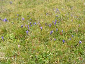A meadow filled with what I believe are Fringed Gentians, atop the Great Divide near Big Buck Creek