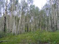 An aspen forest on the Camp Trail No. 476