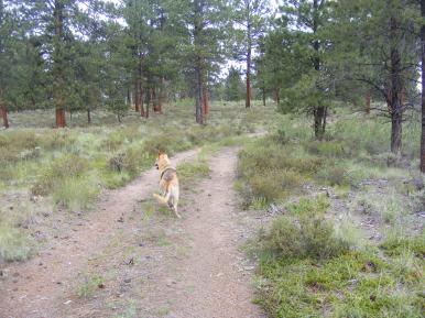 Draco looking for squirrels and chipmunks on BLM Road 3126b