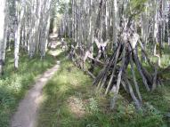 Old fence in an aspen grove on the Milk Creek Trail No. 474