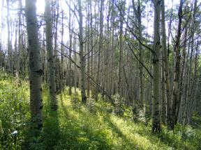Along the old trail, an aspen forest atop the divide between Mill and Squirrel Creeks