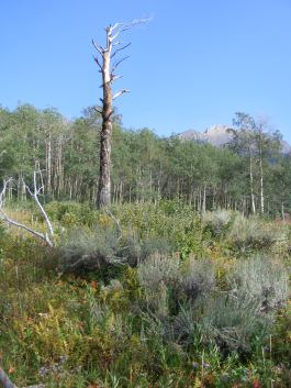 Snag along Bridger-Teton National Forest Trail No. 94