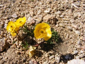 Between Three Waters Mountain and Point 11409, what looks like a buttercup of some sort