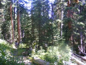 The forest along Bridger-Teton National Forest Trail No. 94 south of Gunsight Pass