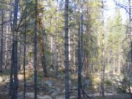 Lodgepole pine forest near the divide between Middle Quartz and South Quartz Creeks