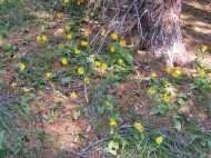 Arnica cordifolia on South Quartz Creek