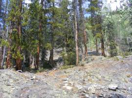 Pioneering lodgepole pines growing out of the granite in Comanche Gulch