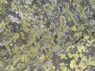 Lichen galore, feasting on rock in Comanche Gulch