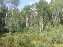 Aspen jungle in Comanche Gulch