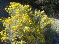 Rabbitbrush on the Major Creek Trail No. 963