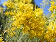 A closeup of the ubiquitous rabbitbrush, in the Aster Family