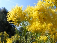 A sure sign of relative aridity in these parts, rabbitbrush blooms towards the end of Summer