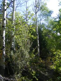 Some of the aspen forest on Major Creek