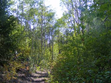 The Major Creek Trail No. 963 in a forest of aspen