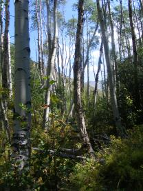 In the aspen forest of Major Creek, looking upstream just below the wilderness boundary