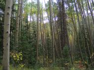 Thick forest of aspen on Major Creek