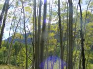 Aspen forest in Mill Creek