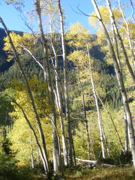 Walking through the aspen forest on Mill Creek