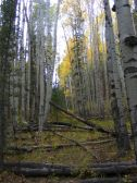 Dense aspen forest on Lake Branch