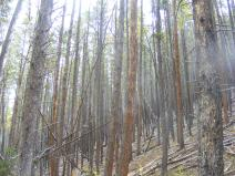 Lodgepole pine forest on Lake Branch