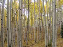 Gorgeous aspen forest in the West Elk Wilderness