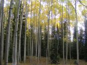 The aspen crowns seemed to glow on this day