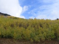 A bit of blue sky over the aspen forest