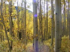 Some sunlight in the aspen forest above Ohio Creek