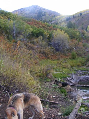 Draco with his nose down on the Sink Creek Trail No. 861 in the Gunnison National Forest